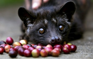 The civet, or luwak.